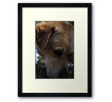 Mans Best Friend- Bouncer The Labrador  Framed Print
