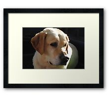Bouncer The Labrador Puppy  Framed Print