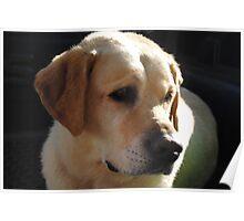 Bouncer The Labrador Puppy  Poster
