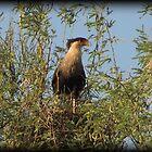 Crested Caracara, Marana, AZ by Kimberly Chadwick