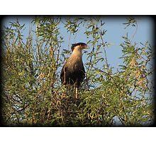 Crested Caracara, Marana, AZ Photographic Print