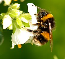 Bee In Peebles Garden by rosie320d