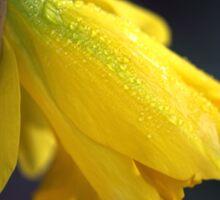 Daffodil Rain Sticker