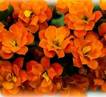 Kalanchoe by Bette Devine