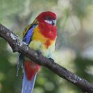 Pretty Parrot by byronbackyard