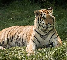 Tiger lazing but very alert by alan tunnicliffe
