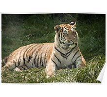Tiger lazing but very alert Poster