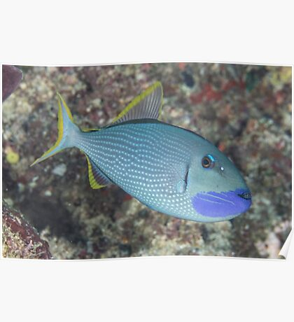 Gilded Triggerfish Poster