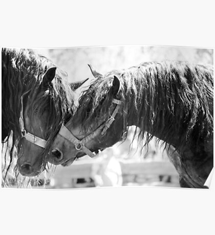 Horses embrace Poster