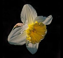 Sunlight Daffodil by Avril Harris