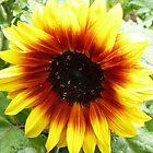 Solar Flash Sunflower by Sue Gurney