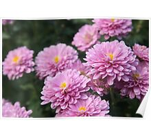 Pretty in Pink Blooming Flowers Poster