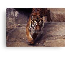 tiger, graphic shirt Canvas Print