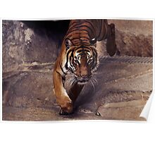 tiger, graphic shirt Poster