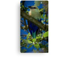 Blue Bellied Roller Canvas Print