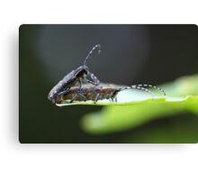 A pair of small poplar borer bettles (Saperda populnea) Canvas Print