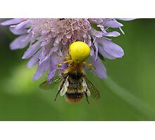 Crab spider (Misumena vatia) with a bumblebee Photographic Print