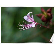 Flower of a burning bush (Dictamnus albus) Poster