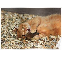 Ginger cat playing with toy mouse Poster