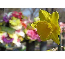 Daffodile - Yellow Photographic Print