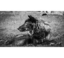Woburn Safari Park - Wolf Photographic Print
