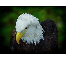 Bald Eagle, Photographic Print