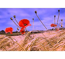 Barley with Poppies Photographic Print