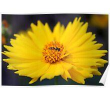 Tiny Bee On Yellow Daisy Poster