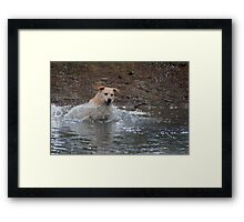 Bouncer-The Labrador Leap of faith Framed Print