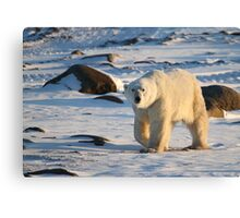 Polar Bear on the Tundra, Churchill, Canada  Canvas Print