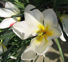 Sunlit Tulips by Kathryn Jones
