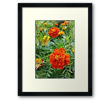 brightly colored marigold Framed Print
