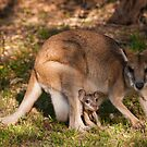 Agile Wallaby with joey, Northern Territory by Erik Schlogl