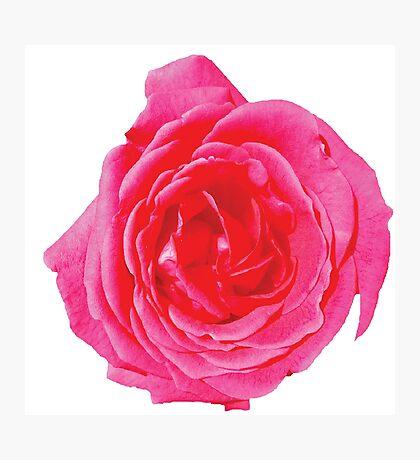 Beautiful big red rose Photographic Print