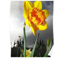 Dramatic Summer Flower Daffodil Photography Poster