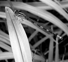 Damsel Fly in Black and White by katpix