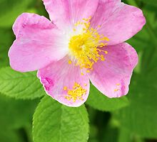 Wild Rose by Kenneth Keifer