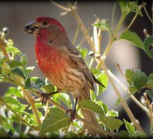 House Finch (Male) Feeding by Kimberly Chadwick