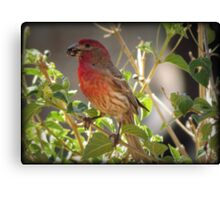 House Finch (Male) Feeding Canvas Print