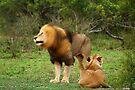 Shake that mane! by Explorations Africa Dan MacKenzie