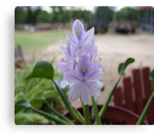Water Hyacinth Canvas Print