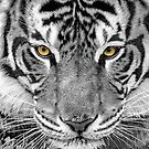 Eye of the tiger by Webitect