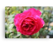 Rose in full bloom Canvas Print