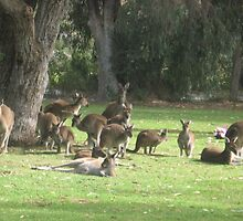 Group of Kangaroos by Lillydale1