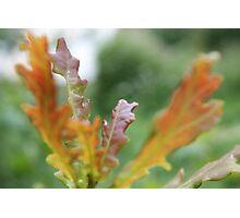 Orange Oak Leaves  Photographic Print