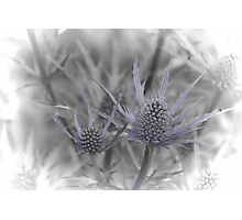Sea Holly 2 Photographic Print