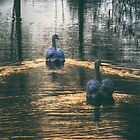 Swans at Sunset by Nigel Bangert