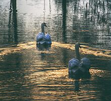 Swans at Sunset by Nigel Bangert