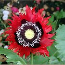 Red Sun Poppy by Janone