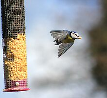Blue tit flying from feeder by turniptowers